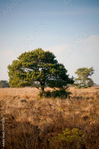 Papiers peints Nature Een grote boom in een mooi stukje heide in het zuiden van Nederland