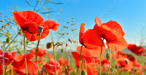 Garden Poster Red Poppies