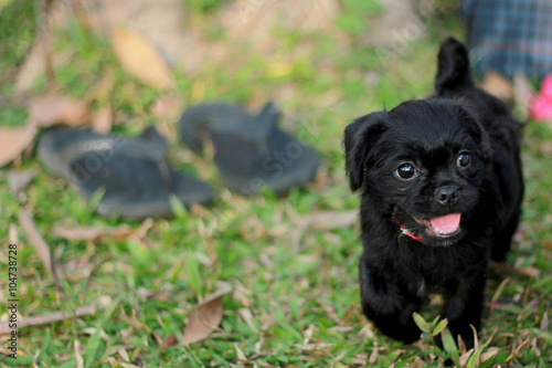Photo  Little puppy dog walking on grass. Shih Tzu Poodle