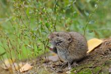Common Vole Eats Wild Grass Se...