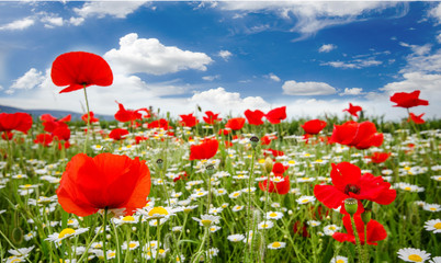 FototapetaSummer happiness: meadow with red poppies