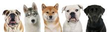 Five Purebred Dogs