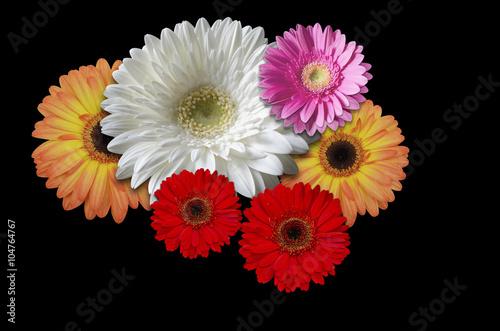 Aluminium Prints Gerbera Multicolored flowers daisies on a black background