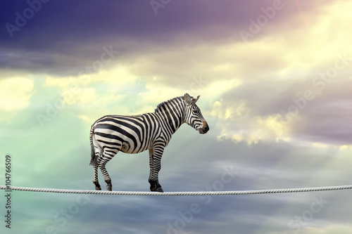 Spoed Foto op Canvas Zebra Zebra walking on a rope