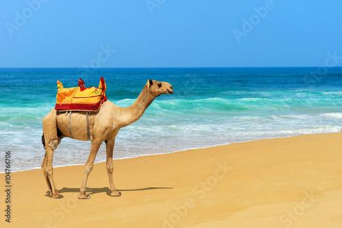 Cadres-photo bureau Chameau Camel on the beach