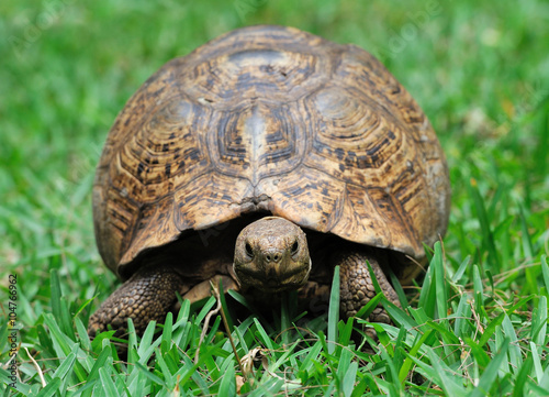 obraz lub plakat Turtle in grass