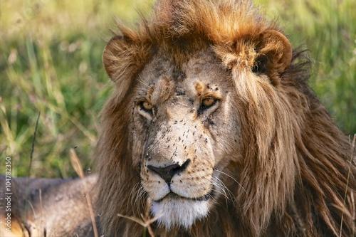 Fotobehang Leeuw portrait of a beautiful lion at the masai mara national park