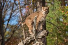 Bobcat (Lynx Rufus) Balances O...