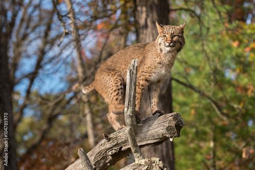 Bobcat (Lynx rufus) Balances on Branch Canvas Print