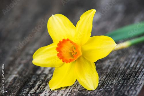 Garden Poster Narcissus narzisse liegt auf holzfläche