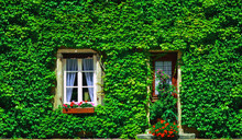 Old House Covered By Ivy In Pa...