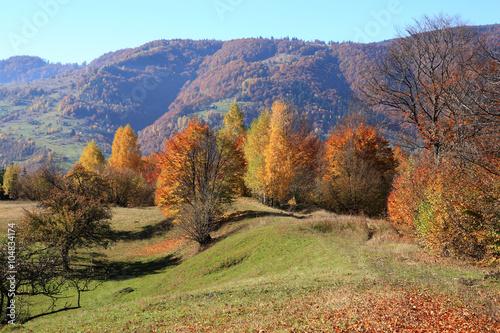 Fototapety, obrazy: Beech Forest in the Ukrainian Carpathians in a golden autumn