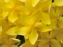 Little Yellow Flowers Of Rubiaceae Tree. (Jungle Geranium ,Ixora Coccinea)