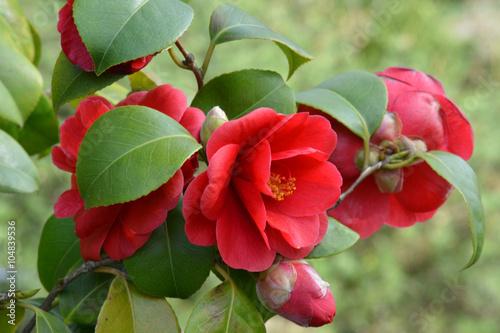 Camelia - Camellia japonica Fototapet