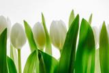 Fototapeta Tulips - białe tulipany na białym tle