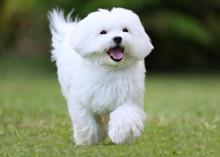 Running Dog / A White Maltese Dog Running On Green Grass Background