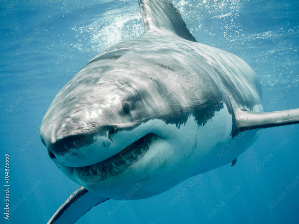 Fototapeta Great white shark close up smiling and swimming front in the blue Pacific Ocean at Guadalupe Island in Mexico