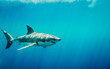 canvas print picture - Great white shark swimming in the blue Pacific Ocean  at Guadalupe Island in Mexico under sun rays