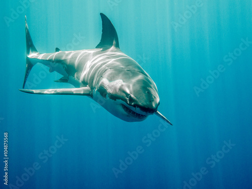 Fotografie, Tablou  Great white shark who looks like Bruce from Finding Nemo movie in the blue Pacif