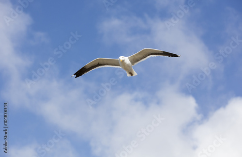 Photo  Flying Sea Gull With Spanned Wings