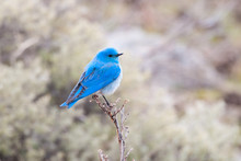 A Male Mountain Bluebird Perching On A Low Tree, Yellowstone National Park, USA