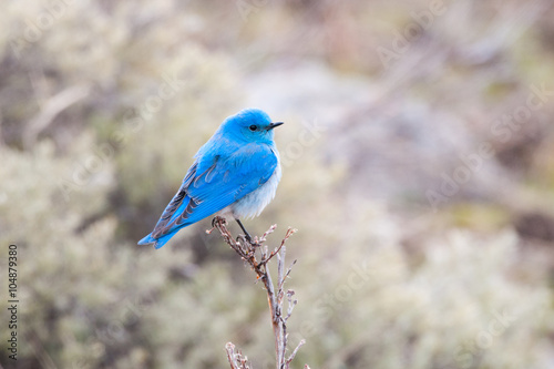 Valokuva  A Male Mountain Bluebird perching on a low tree, Yellowstone National Park, USA