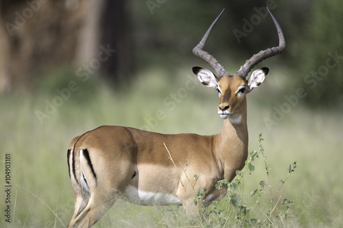 Portrait of male impala antelope
