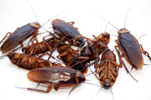 Group Dead Cockroach Isolate O...