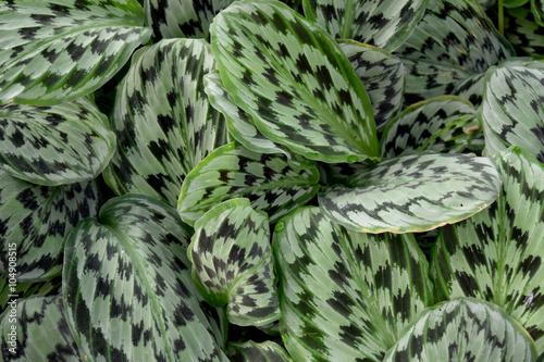 Fotografie, Obraz Medicinal plant - MARANTHACEAE  , Calathea picturata Linden K