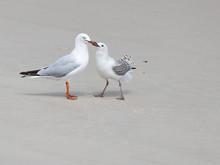 Smart Seagull Feeding Nestling On The Shore