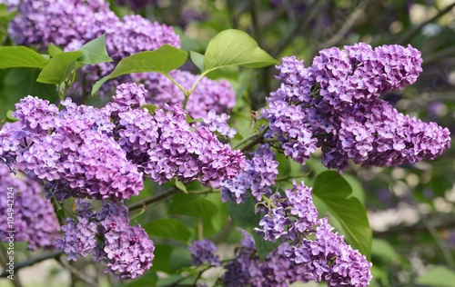 Photo sur Toile Lilac A lovely lilac at Morgan Arboretum, morning light.