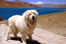 Tibet - Hund Am Blauen See In Höhe Von über 5.000 M
