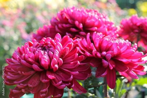 Poster de jardin Dahlia Pink chrysanthemums
