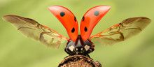 Extreme Magnification - Lady Bug With Spread Wings