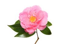 Magenta Camellia Flower