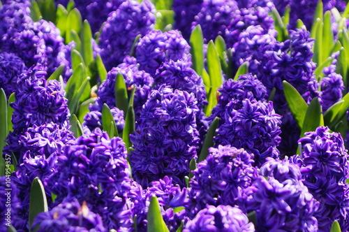 Poster Violet Гиацинты сиреневые в лучах утреннего солнца