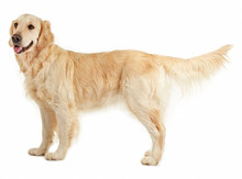 Golden Retriever, Isolated On White