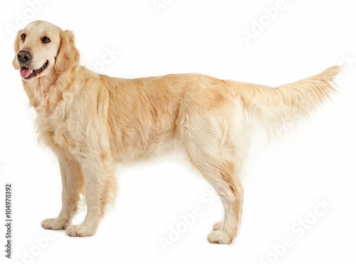 Cuadros en Lienzo Golden retriever, isolated on white
