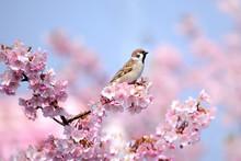 桜の花とスズメ
