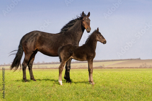 Fotografie, Obraz  Mare with colt on spring pasture exterior