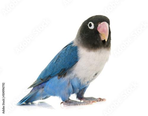 Fotomural blue masqued lovebird