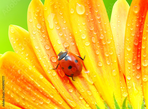 obraz dibond Ladybug and flower
