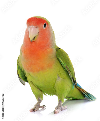 Photo Peach faced Lovebird