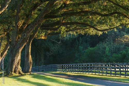 Fotografía  Live oak trees with four board farm fence in the rural countryside farm or ranch