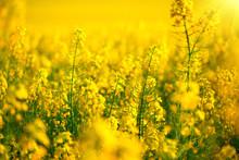 Rapeseed Field. Blooming Canol...