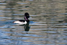 Male Ring-Necked Duck Swimming In The Still Pond Waters