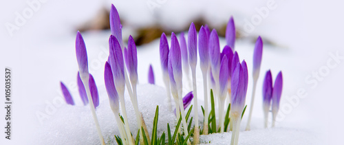 Photo sur Aluminium Crocus Violet crocuses in snow.