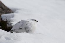 Rock Ptarmigan (Lagopus Muta) In Winter Plumage Sitting In The Snow