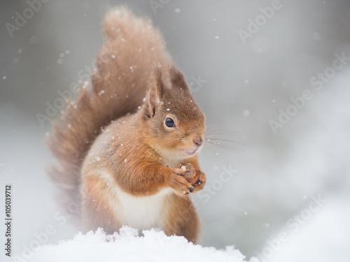 Foto op Canvas Eekhoorn Red Squirrel (Sciurus vulgaris) sitting in the snow holding a nut