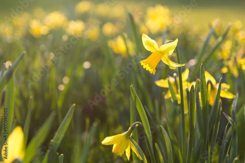 Poster de jardin Narcisse Narzissen im Sonnenschein